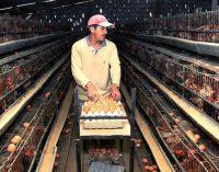 El ecuatoriano consume 165 huevos al año