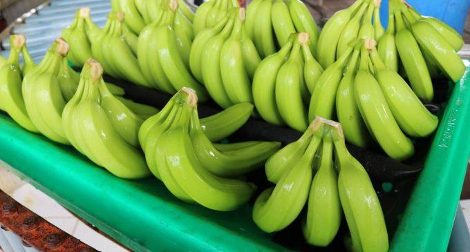 Ecuatorianos invierten en empresa para la distribución de banano en Suecia
