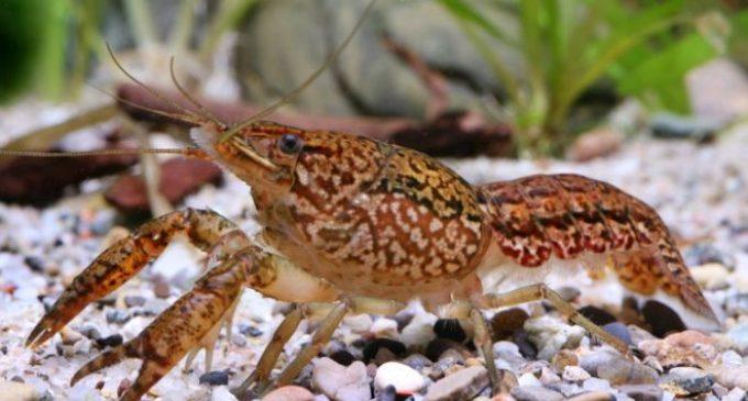 El cangrejo de mármol, la especie mutante que se clona a sí misma