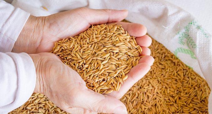 La UNA-EP comercializó 42 mil toneladas métricas de arroz en cáscara