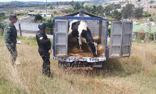 Se encontró ingreso ilícito de leche y ganado