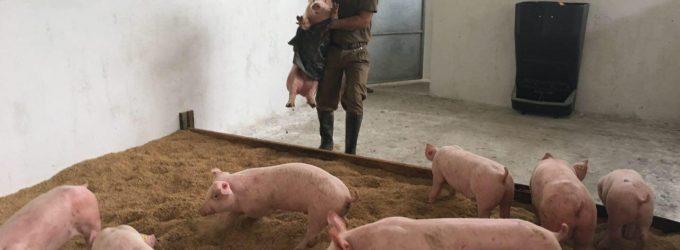 Se incentiva cría de cerdos