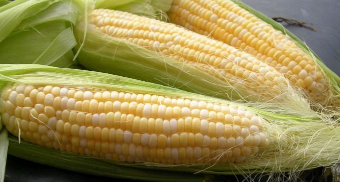 MAGAP fijó precio del maíz amarillo duro para septiembre de 2013