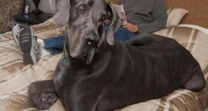Murió Gigante Jorge, el perro más grande del mundo