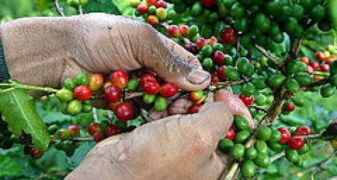 Hasta el 2015 se rehabilitarán 134 mil hectáreas de café