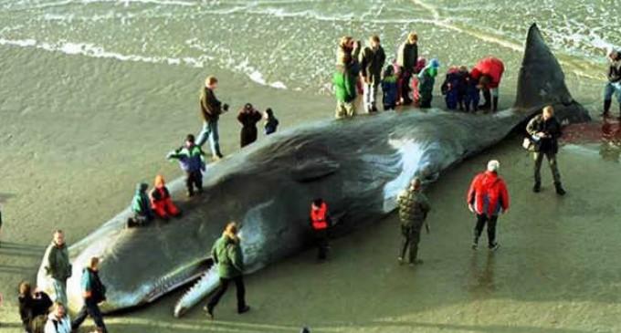 Hallan muerta a una ballena con 20 kilos de plástico en el estómago