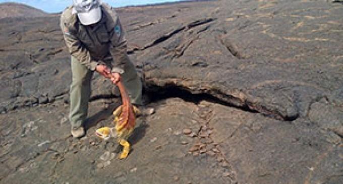 MAE realizó censo de iguanas terrestres en Cartago, Galápagos