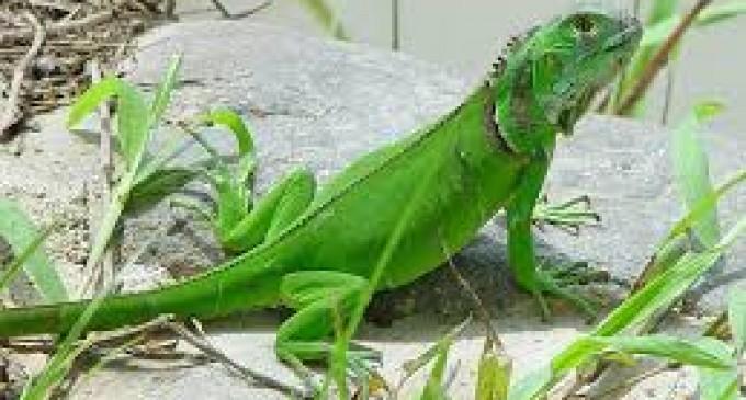 Investigan mortalidad de iguanas marinas