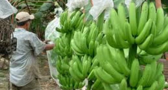 Los cien años de historia bananera, amenazados