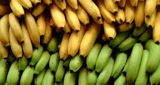 La fragilidad del potente banano