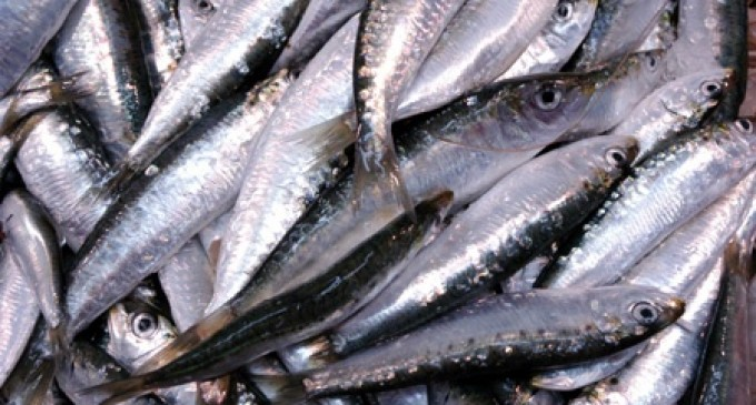 Chile investiga muerte de miles de sardinas cerca de Valparaíso
