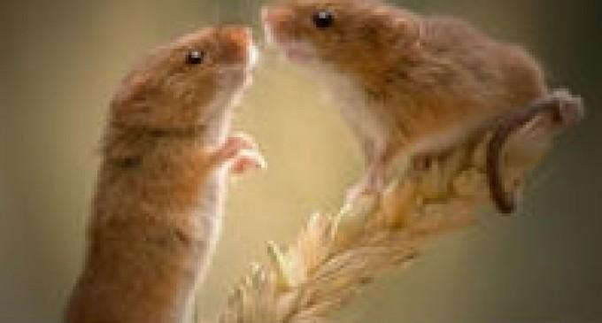 Los ratones cantan para impresionar a las hembras