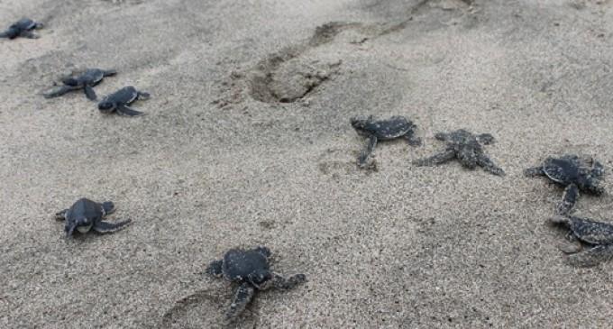 70 neonatos de tortugas verdes nacieron en San Lorenzo