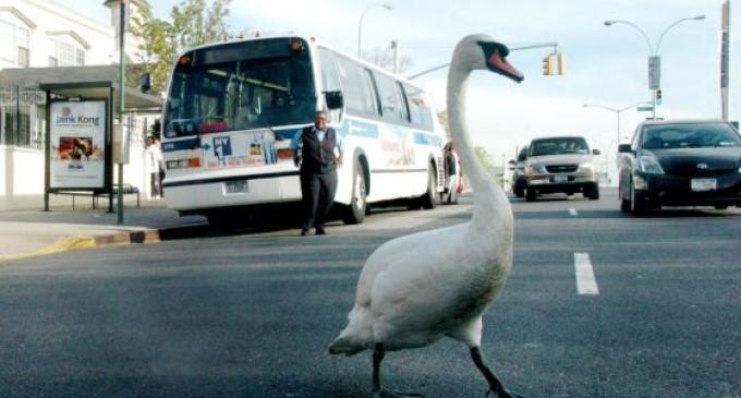 Nueva York destierra a los cisnes