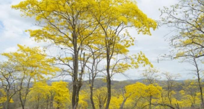 El florecimiento de los guayacanes en Ecuador se transmitirá para todo el mundo