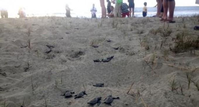 En Puerto López nacieron otras 137 tortugas verdes