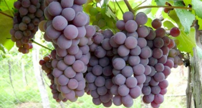 Ecuador consume 16 millones de kilos de uva anualmente