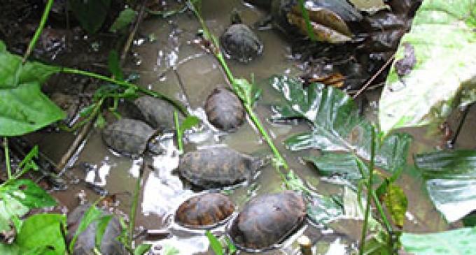 Liberan 42 tortugas en Borbón, Esmeraldas