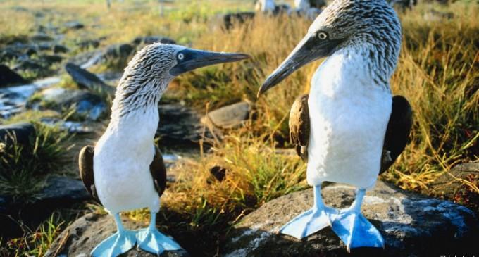 ¿Por qué no se reproducen los piqueros patiazules de Galápagos?