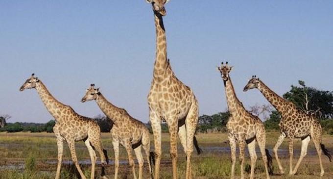 Sólo quedan 80.000 jirafas silvestres
