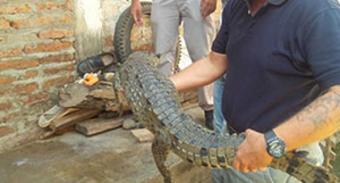 Cocodrilo de la costa fue rescatado en El Oro