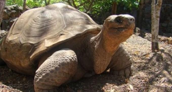'Pepe', otra tortuga emblemática de Galápagos, murió hoy