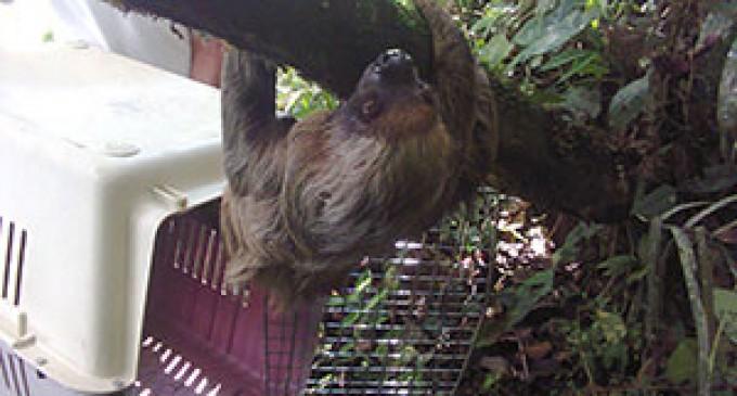 MAE rescata y libera dos perezosos en Sucumbíos
