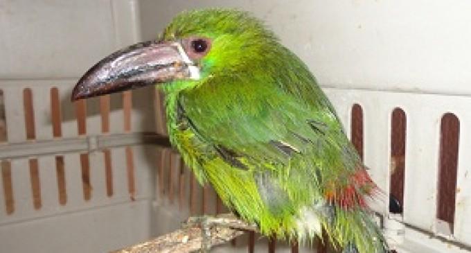 MAE rescató cinco especímenes de vida silvestre en Pallatanga, Cumandá y Riobamba