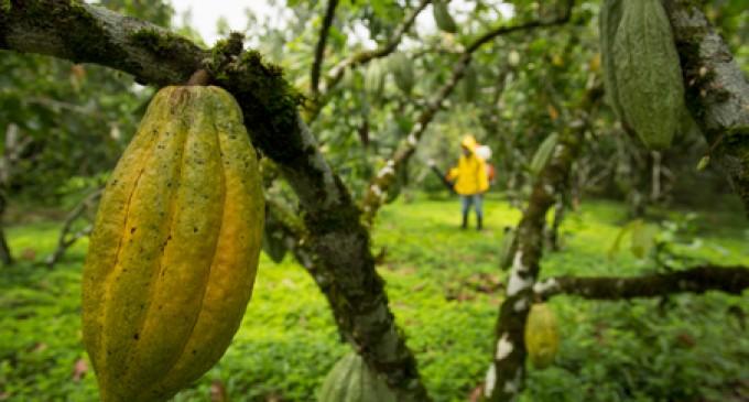 La poda de árboles de cacao, en Santo Domingo, aumenta la producción
