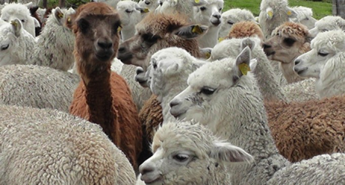 Mujeres se benefician de la cría de alpacas