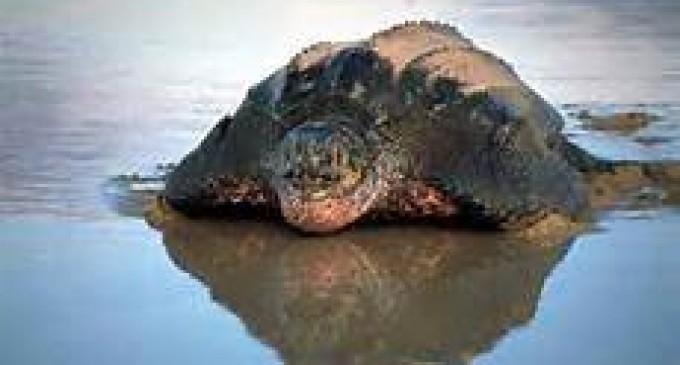 Más de 70 tortugas regresaron a su hábitat natural