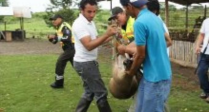Policía y Medio Ambiente rescatan tres venados de una finca en Vinces