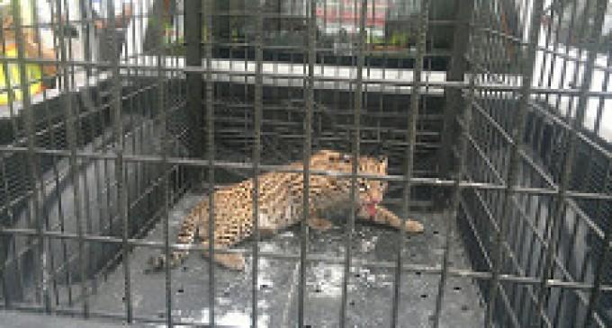Rescatan tigrillo por denuncia de la comunidad en Babahoyo
