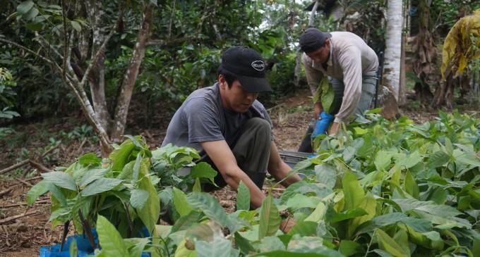 Los Ríos renovará dos mil hectáreas de cacao hasta 2017