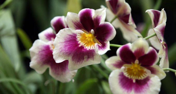 1.500 especies de orquídeas se exponen en Guayaquil